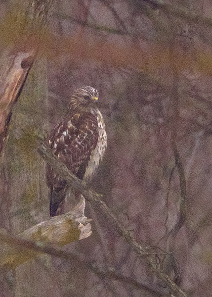Red-tailed Hawk at Spicer Lake Nature Preserve, New Carlisle, IN