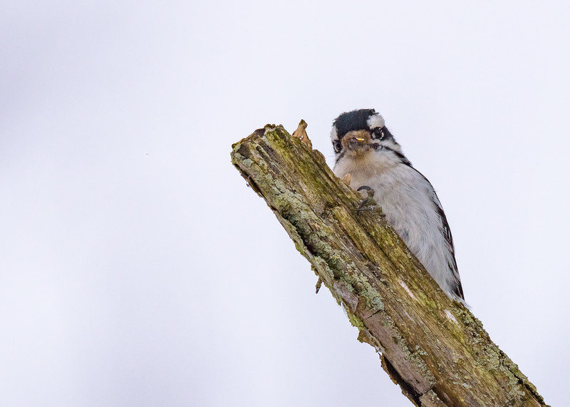 Downy Woodpecker at Spicer Lake Nature Preserve, New Carlisle, IN
