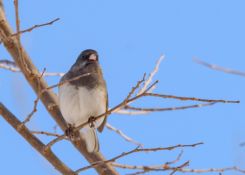 Dark-eyed Junco near Riverside Trail, South Bend, IN