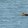 American Black Duck at Port of Indiana