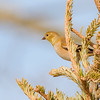American Goldfinch at Chesterton Feeds
