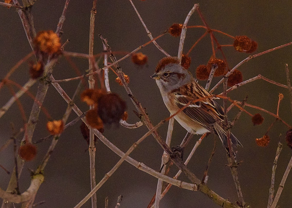 American Tree Sparrow at Spicer Lake Nature Preserve, New Carlisle, IN