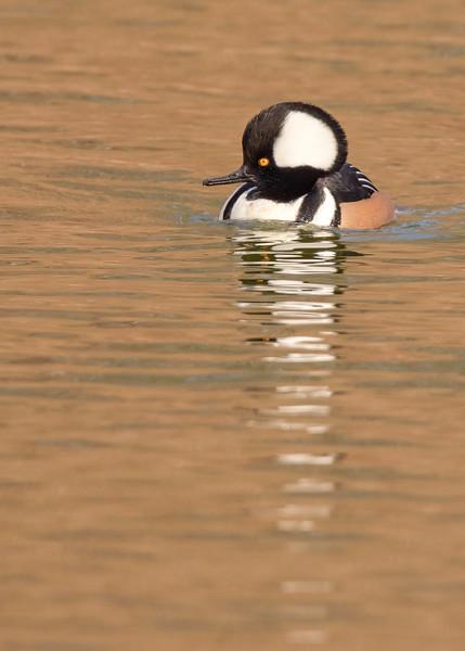Hooded Merganser (male) at riverside walk, South Bend, IN