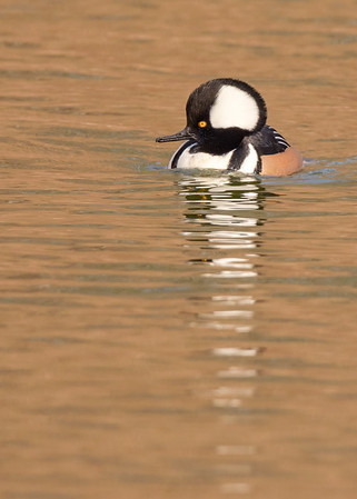 Hooded Merganser (male) at riverside walk, South Bend, IN