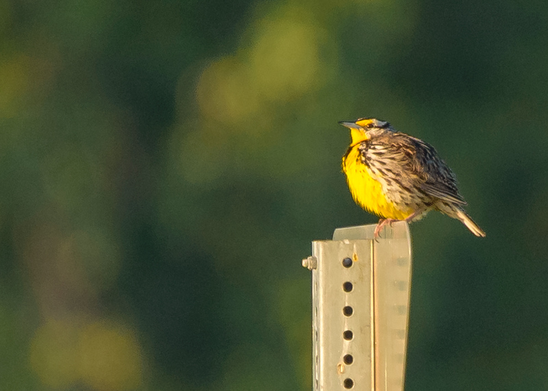 Eastern Meadowlark at Beverly D. Crone Restoration Area, South Bend, IN