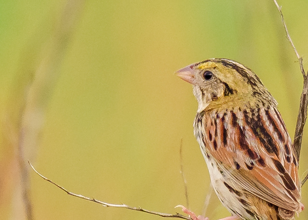 Henslow's Sparrow at Beverly D. Crone Restoration Area, South Bend, IN