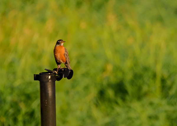 American Robin at Beverly D. Crone Restoration Area, South Bend, IN