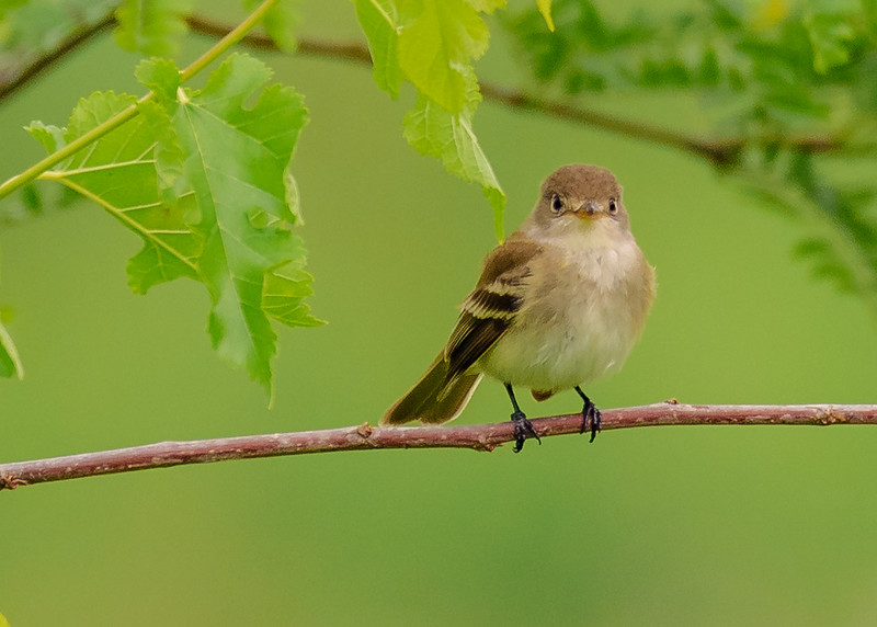 Willow Flycatcher at Beverly D. Crone Restoration Area, South Bend, IN