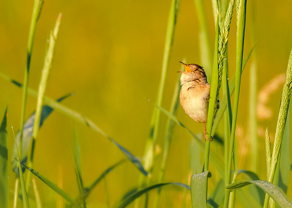 Sedge Wren at Beverly D. Crone Restoration Area, South Bend, IN