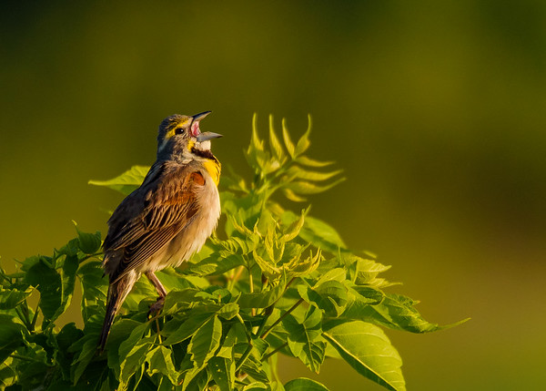 Dickcissel (male) at Beverly D. Crone Restoration Area, South Bend, IN
