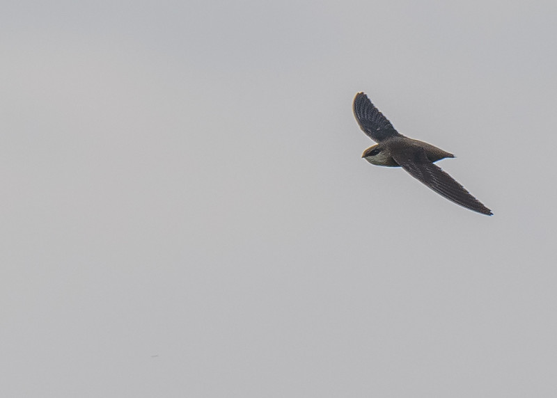 Chimney Swift at Beverly D. Crone Restoration Area, South Bend, IN