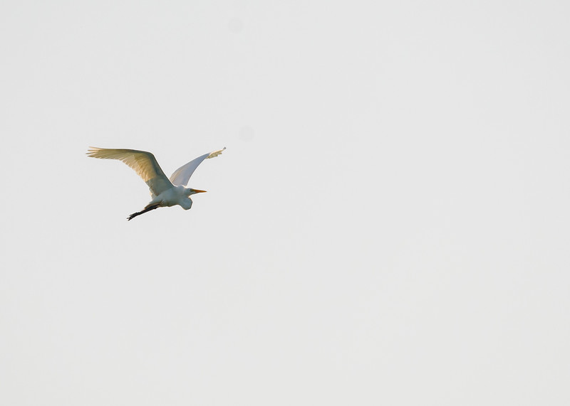 Great Egret from Lake Street Beach, Gary , IN
