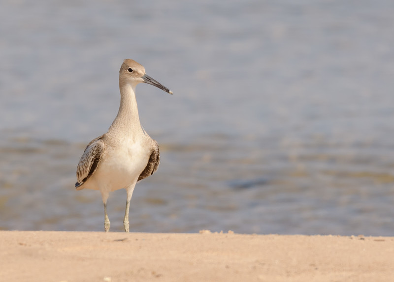 a up and close portrait of a Willet seen at Lake Street Beach, Gary , IN