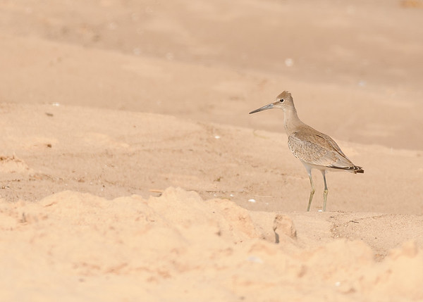 how about this side? a up and close portrait of a Willet seen at Lake Street Beach, Gary , IN