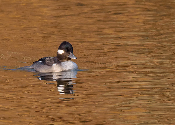 Bufflehead (female) at the boat launch on northside of riverside walk, South Bend, IN