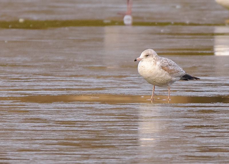 A 1st winter Ring-billed Gull, a not to myself, all gulls (almost all) will have pink legs in their 1st winter cycle