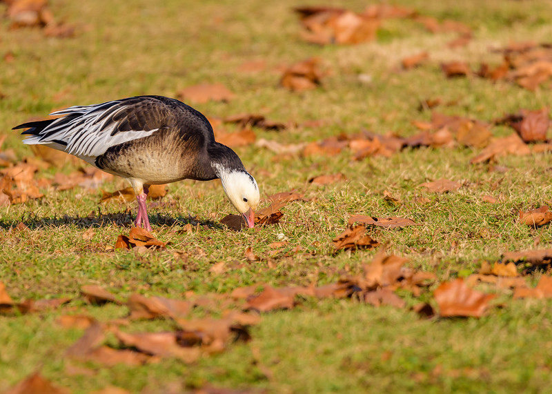 Ross's Goose at Pinhook Park, South Bend, IN