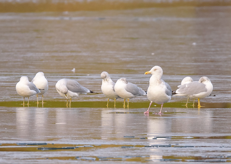 Herring Gull showingoff in front of some un-interested Ring-billed Gulls