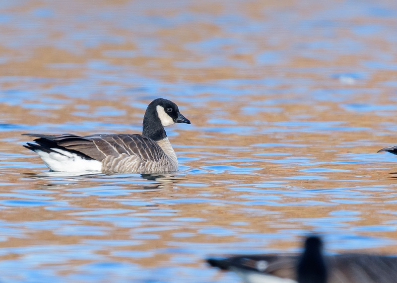 A Cackling Goose at Pinhook Park Lagoon, South Bend, IN, this time in water!