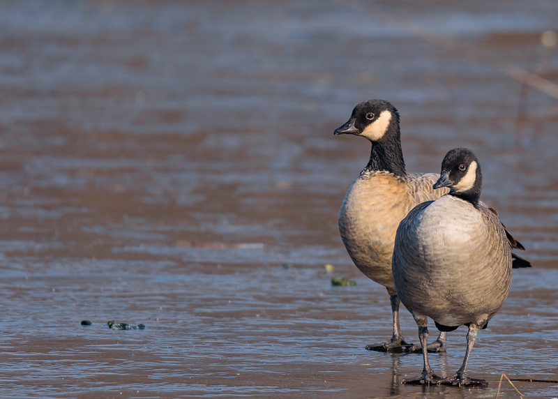 A Cackling Goose couple at Pinhook Park, South Bend, IN