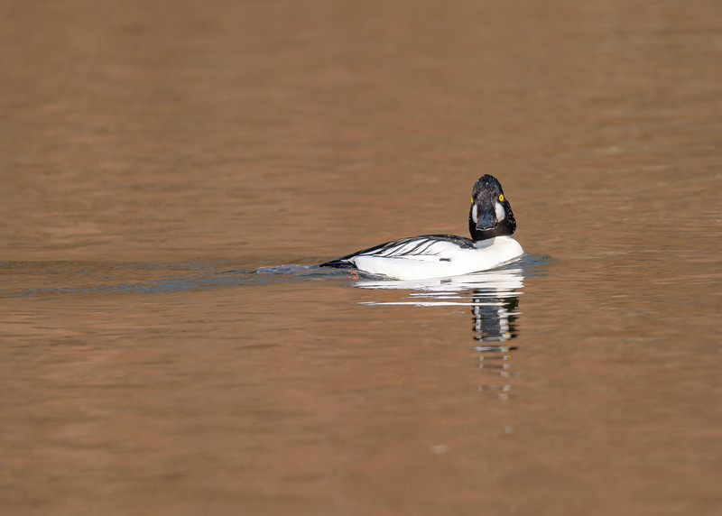 Light can have profound effect on how does the subject looks, here is the same male Common Goldeneye from y'day with it being in not so good light in St. Joe River, South Bend, IN