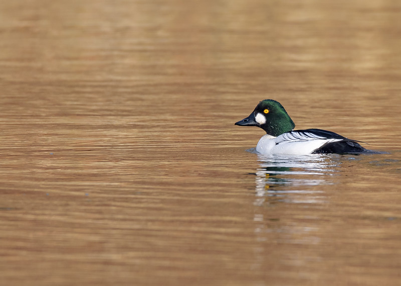 the vivid colors of a male Common Goldeneye seen if proper light in St. Joe River, South Bend, IN