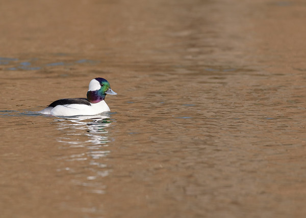 a male Bufflehead seen at riverside walk of South Bend, IN