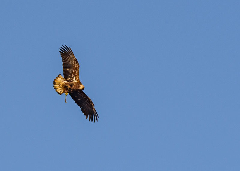 A juvenile Bald Eagle in flight and doing some acrobatics as well in between!!