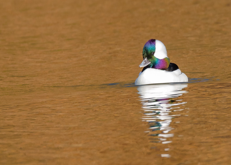Bufflehead (male) on a crisp sunny winter day at northside riverside walk, South Bend, IN