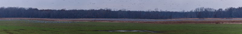 the entire lot!! the whole of 24000+ Sandhill Cranes congregating at Jasper-Pulaski FWA, Medaryville, IN