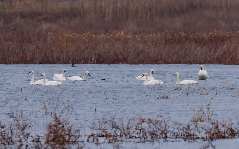 a bunch of Tundra Swans at Kiwani Marsh, North Judson, IN