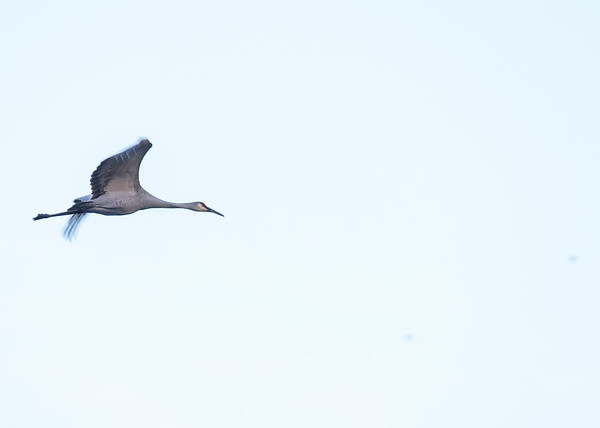 a Sandhill Crane in flight at Chamberlain Lake Nature Preserve, South Bend, IN