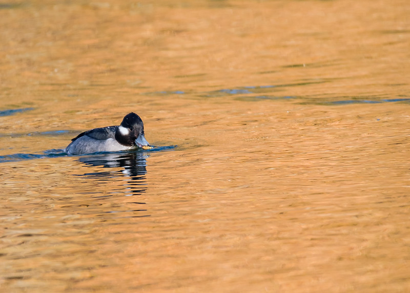 Bufflehead (female) on a crisp sunny winter day at northside riverside walk, South Bend, IN