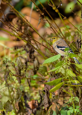 an American Goldfinch at Potato Creek State Park, North Liberty, IN