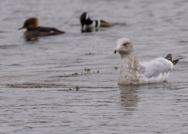 a Herring Gull in its winter suite at St. Mary's Lake, Notre Dame, IN