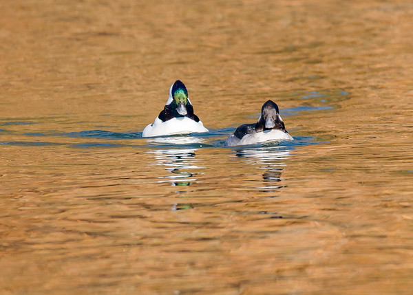 Bufflehead couple on a crisp sunny winter day at northside riverside walk, South Bend, IN