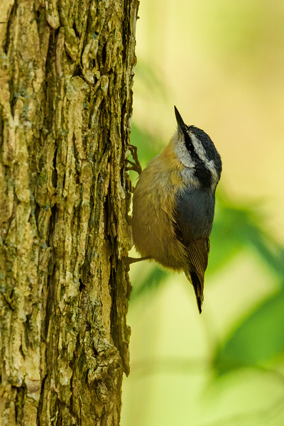 A late Red-breasted Nuthatch at Saint Mary's College Nature Trail, Notre Dame, IN