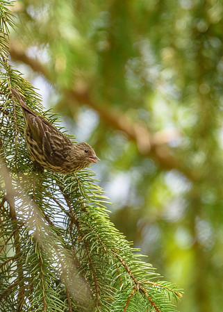 That's why we are called Pine Siskins!!