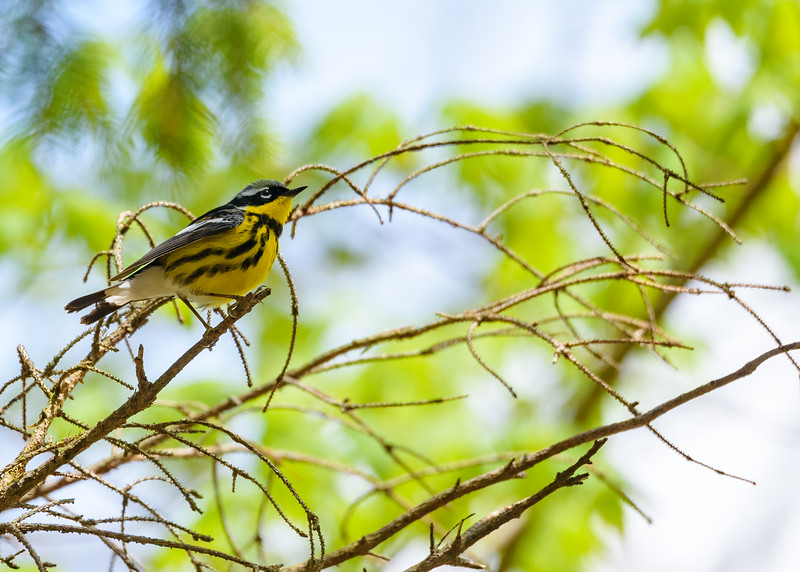 A male Magnolia Warbler that came down to check out the short person (my daughter) who was making lots of noise and was caught in the camera (by me) at St. Mary's Lake, Notre Dame, IN