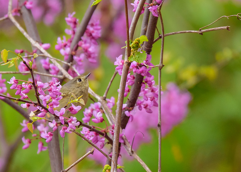 A Ruby-crowned Kinglet having some great time amongst the spring blooms at St. Mary's Lake, Notre Dame, IN