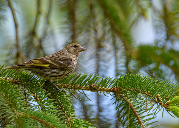 A Pine Siskin that's not yet decided to head up for breeding at St. Mary's Lake, Notre Dame, IN
