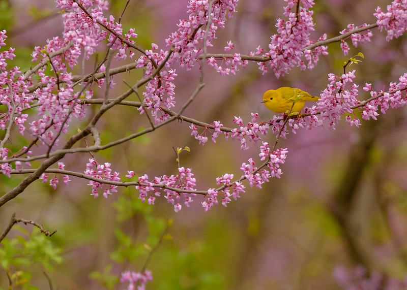 A male Yellow Warbler among spring bloom at St. Mary's Lake, Notre Dame, IN