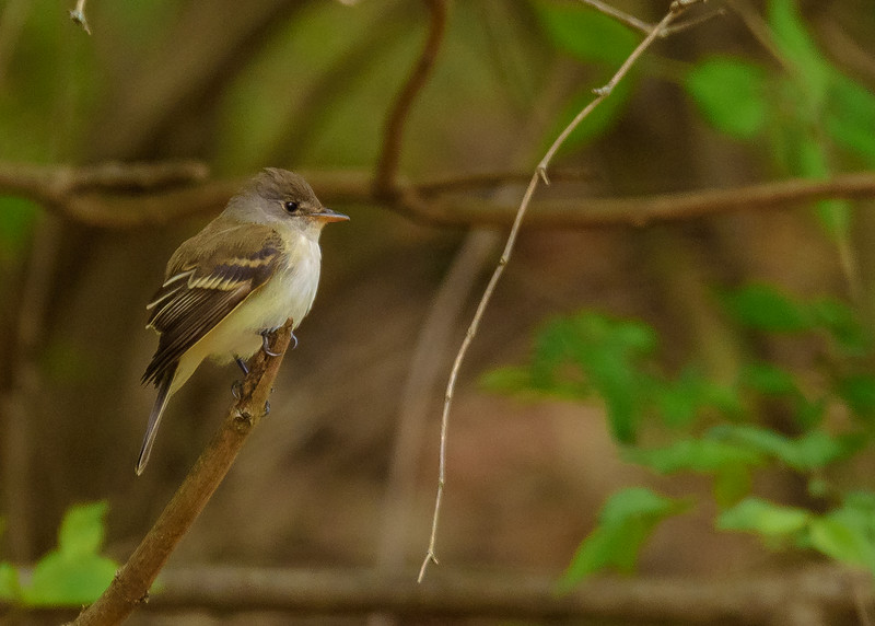 A newly arrived Acadian Flycatcher checking out its kingdom at St. Mary's Lake, Notre Dame, IN