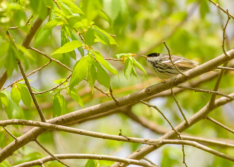 A distant male Blackpoll Warbler at St. Mary's Lake, Notre Dame, IN