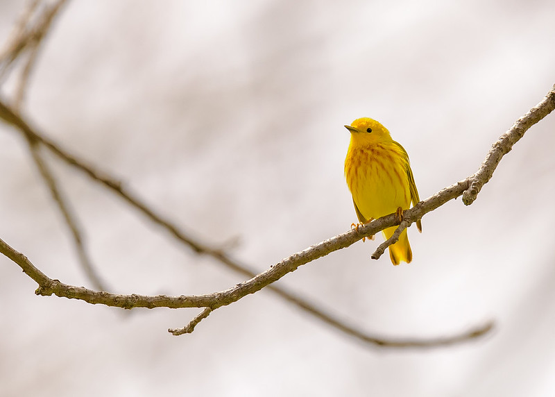 A male Yellow Warbler at St. Mary's Lake, Notre Dame, IN