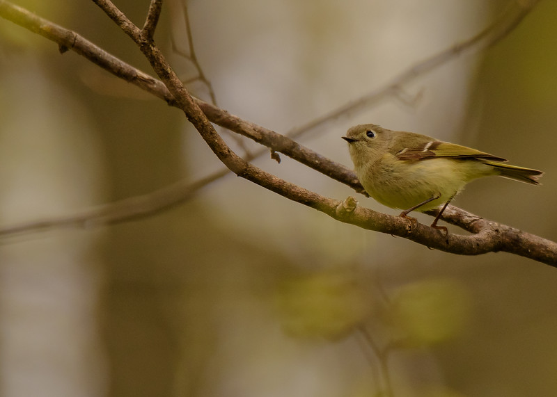 A Ruby-crowned Kinglet at St. Mary's Lake, Notre Dame, IN