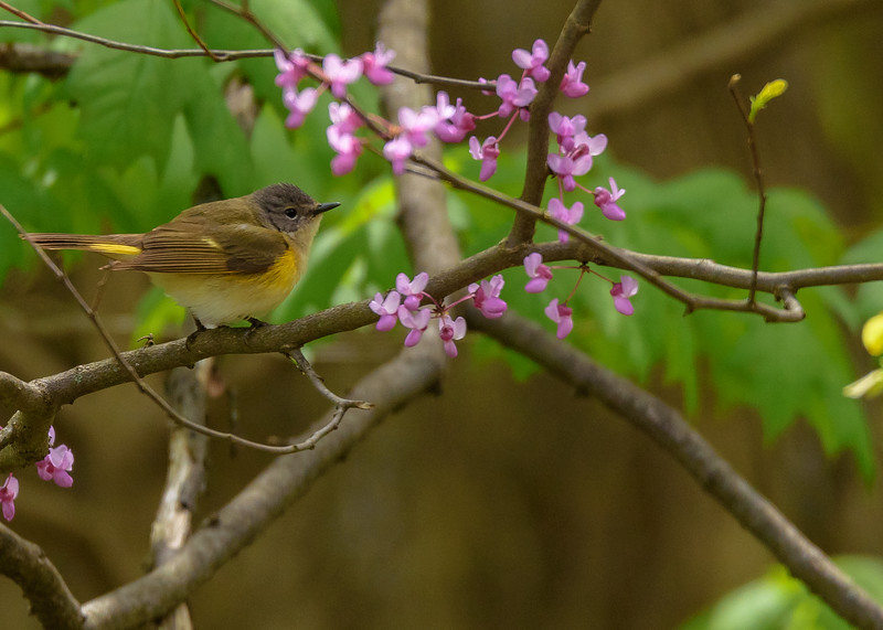 A female American Redstart amongst spring flowers at St. Mary's Lake, Notre Dame, IN