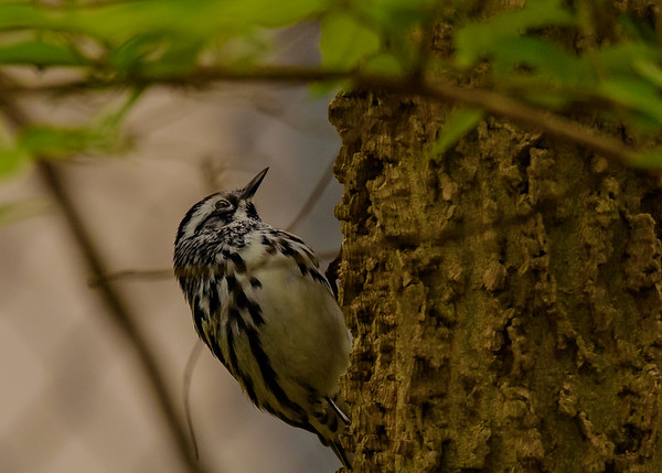 A migrating Black-and-white Warbler at St. Mary's Lake, Notre Dame, IN