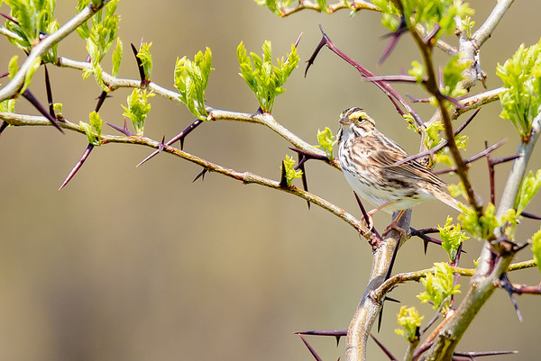 A Savannah Sparrow at Saint Mary's College Nature Trail, Notre Dame, IN