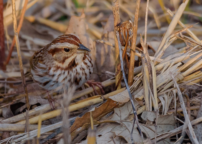 A Song Sparrow at Highland's Heron Rookery, Highland, IN